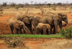 we are family (lesleydugmore) Tags: earth outside outdoor scrub foilage brown tusks africa kenya africanelephant ears trunks fabuleuse