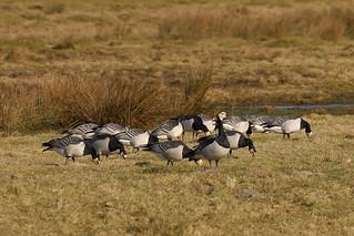 Barnacle geese with guard on the Borkum island meadows / Nonnen-/Weißwangengänse mit Wachposten auf den Inselwiesen von Borkum