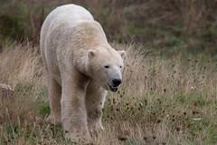 Polar Bear (Smarkmith) Tags: yorkshire wildlife park ywp doncaster camera club canon 6d eos tamron 150600mm 150600 g2 polar bear
