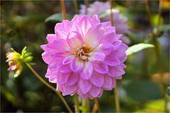 dahlia........ (atsjebosma) Tags: bloem bud knop bokeh atsjebosma groningen thenetherlands september 2018 coth5 ngc npc