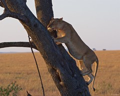 IMGP8117 Climbing lioness (Claudio e Lucia Images around the world) Tags: lion lioness tree climbing jump jumping serengeti tanzania africa cat bigcat feline savana sunrise pentax pentaxk3ii sigma sigma50500 bigma sigmaart pentaxart nationalgeographic africageographic animale erba cielo