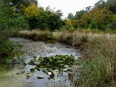 Pond, Blaen Bran, Upper Cwmbran 17 September 2018 (Cold War Warrior) Tags: pond cwmbran lily autumn blaenbran