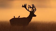Dawn mist (Hammerchewer) Tags: reddeer deer stag starlings bird animal wildlife outdoor sunrise mist