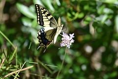 Papilio machaon (esta_ahi) Tags: canbladet pantàdefoix mariposa papallona butterfly papiliomachaon papilio machaon papilionidae lepidoptera insectos fauna parcdelfoix castelletilagornal penedès barcelona spain españa испания