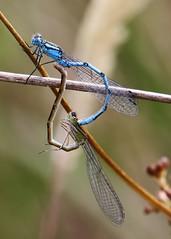 Common-Blue-Damselfly1407 (bcmp49) Tags: odonata dragonflies damselflies bds staffordshire