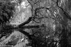 Cambridge   -5.jpg (Colin Dorey) Tags: bw monochrome blackandwhite blackwhite cambridge cambridgeshire tree reflection plants water garden botanicgarden universitybotanicgarden