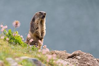 Nivolet - Marmotta