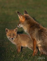 Red fox / Vulpes vulpes / Renard Roux (Jambo53 (catching up)) Tags: redfox rodevos vulpesvulpes renardroux roofdier predator mammal zoogdier copyrightrobertkok nikond800 naturereserve duingebied coastalarea brighteyes young jonkie kitten netherlands nederland nikkon500f4