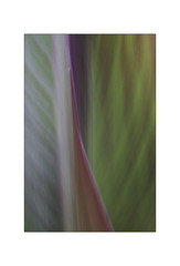 Canna Lily. (muddlemaker1967) Tags: nature garden cannalily leaves icm summer 2018 closeup tamron sp 90mm macro lens 52bb fotodiox adapter colours fujifilm xt1