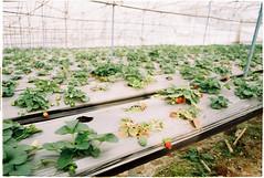 (grousespouse) Tags: vietnam 35mm analog film nikonf3 nikonseriese28mmf28 fujicolorc200 dalat strawberry farm 2018 colorfilm croplab grousespouse
