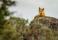 RESTFUL WATCHER (Sandy Hill :-)) Tags: fox redfox wildlife red yellowstonenationalpark sandyhill sandyhillphotography nature beautiful natural spring sage lichen moody