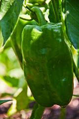 Pepper 4 (LongInt57) Tags: food pepper plant bell fruit vegetable growing garden green nature kelowna bc canada okanagan leaf leaves soil