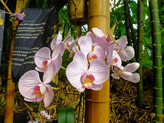 A Stem of Orchids 2 (Cornishcarolin. Stupid busy!! xx) Tags: cornwall httpswwwedenprojectcom nature flowers plants orchids