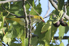 Rigogolo femmina (Polpi68) Tags: bird birds birdwatching nature wildlife wild rigogolo