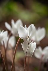 Hidden Blooms (A Journey With A New Camera) Tags: dorset arne wareham flower whiteflower woodland