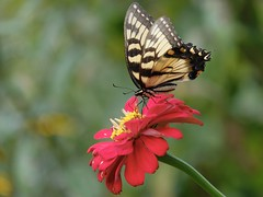 Swallowtail (MarcBphotos) Tags: papillon swallowtail butterfly flower fleur bokeh fuji xt20