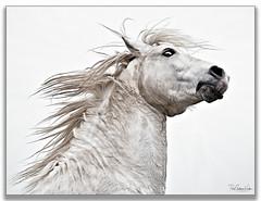 My Best Side .... (KevinBJensen) Tags: horse france camargue animals portrait paul keates risu