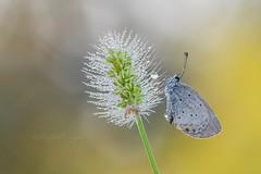 Cupido argiades (Raffaella Coreggioli ( fioregiallo)) Tags: nikon natura fioregiallo insetto farfalla macro cupido lepidotteri fiori settembrino ali rugiada polline gocce