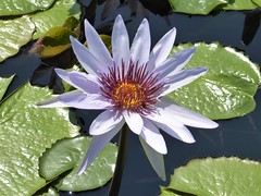 Chicago, Garfield Park Conservatory, Outside Garden, Pale Blue Water Lily, Macro (Mary Warren 11.3+ Million Views) Tags: chicago garfieldparkconservatory garden park nature flora plants green leaves foliage waterlily blue bloom blossom flower macro
