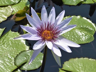 Chicago, Garfield Park Conservatory, Outside Garden, Pale Blue Water Lily, Macro