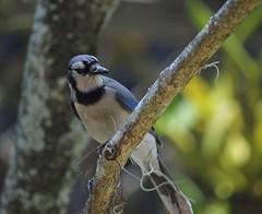 Backyard Blue (ACEZandEIGHTZ) Tags: cyanocitta cristata bluejay backyard birdwatcher nikon d3200 bokeh branches nature