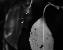 The Raindrop & the Leaves (that_damn_duck) Tags: nikon blackwhite monochrome nature raindrop waterdrop leaves rain drops droplets bw blackandwhite