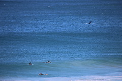 IMG_3835 (gervo1865_2 - LJ Gervasoni) Tags: surfing with whales lady bay warrnambool victoria 2017 ocean sea water waves coast coastal marine wildlife sealife blue photographerljgervasoni