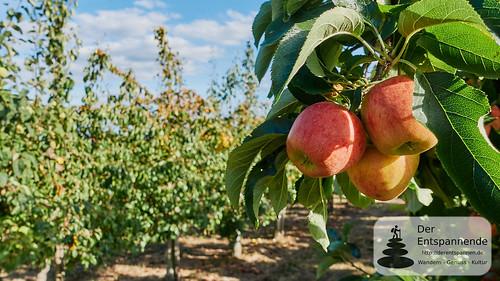 Äpfel in den Zornheimer Obstanlagen