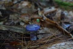 Mushroom (Sean Munson) Tags: mushroom newhampshire whitemountainnationalforest nationalforest whitemountains