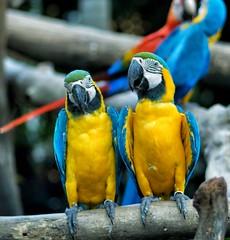 Matching set (Steve4343) Tags: steve4343 matching set birds macaw colorful yellow blue green black branch branches red orange bangkok thailand