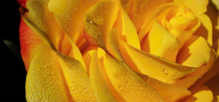 Some Yellow Petals3 P2250212