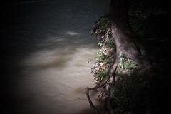 2/4 missing tree, river's light, 9-2-18 (wbhmatthies) Tags: river tree missing grass grasses luminous illuminated stump regrowth regenerate decay death photopoem