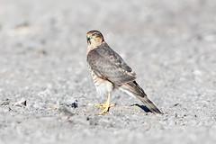 Sparrowhawk (drbut) Tags: sparrowhawk accipiternisus birdofprey bird birds avian trees wildlife nature canonef500f4lisusm