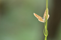 (Leela Channer) Tags: commonblue polyommatusicarus closeup morning insect butterfly nature bokeh plant stem female brown light