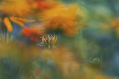A riot of colour (charhedman) Tags: doubleexposure communitygardens explosionofcolour blackeyedsusanpeekingout bokehisallnatural yellow orange blue macro bokeh