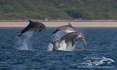 BND Dolphin (triple breaching)-0360 (David Jefferson Photo) Tags: bottlenose dolphin flight breach triple chanonry point fortrose inverness cetacean dolphins whales marine sealife sea ocean highlands scotland wildlife moray firth