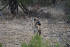 Sudafrica - Kruger National Park -Hyena (PierBia) Tags: sudafrica kruger national park hyena nikon d810
