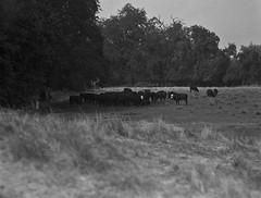 resting cows on 4x5 film (Garrett Meyers) Tags: rbgraflex4x5 garrett meyers garrettmeyers largeformat 4x5film 4x5 graflex graflex4x5 blackandwhitefilm homedeveloped hwy 99 northerncalifornia film filmphotographer