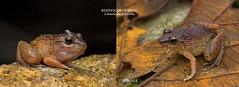 Desktop9-Slight dimorphism of the Rhinoceros Frog (Limnonectes plicatellus) (Vince_Adam Photography) Tags: frog rhinocerosfrog limnonectesplicatellus canon frogsofmalaysia amphibians
