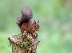 Red Squirrel (Chas Moonie-Wild Photography) Tags: red squirrel wild woods scotland vulgaris