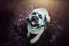 Oskar (Christina Draper) Tags: dog hunde tipetterrier poodle poodlemix petphotograph caninephotography heather autumn