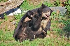 wrestling (Hugo von Schreck) Tags: hugovonschreck wrestling bär bear fantasticnature canoneos5dsr tamron28300mmf3563divcpzda010