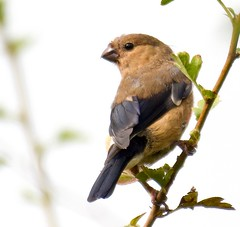 Juvenile Bullfinch (Pyrrhula pyrrhula)  (2 of 2) - Taken at Summer Leys Nature Reserve, Nr Wollaston, Northants. UK. (Ian J Hicks) Tags: