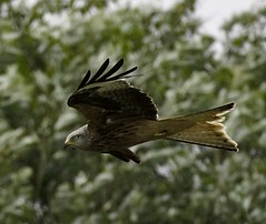 Red Kite (Willbury not about much.) Tags: red kite flying hunting raptor cotswolds canon7d 100400