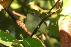 Chestnut-sided Warbler (smkeereweer) Tags: chestnutsidedwarbler setophagapensylvanica novascotia canada