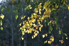 Autumn greetings / Осенний привет (SerenitySS) Tags: осень autumn сентябрь september россия russia смоленскаяобласть smolenskregion природа nature деревья wood лес forest дерево tree золотой gold жёлтый yellow берёза betula birch листва foliage alittlebeauty coth coth5