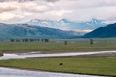 (JuanCarViLo) Tags: national park yellowstone montana buffalo animals wildlife landscape lamar valley sunset wyoming