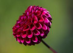 Kräftiges Rot (KaAuenwasser83) Tags: dahlien dahlie blüten blüte pflanze beetpflanze sommer karlsruhe botanischergarten rot kräftigesrot 2018 licht sonne blütenblätter blätter beet