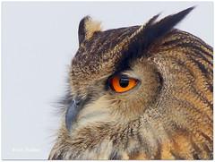 Long-eared owl (Nadine V.) Tags: longearedowl owl uil hibou roofvogel birdofprey randuil asiootus vogel bird britishbirdofpreycentre wales carmarthen llanarthe panasonic panasonicdmcfz200 dmcfz200 lumix fz200 oiseau