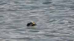 Mr Colvert au ralenti ! (Jean-Daniel David) Tags: oiseau oiseaudeau canard colvert cane lac lacdeneuchâtel réservenaturelle reflet ralenti vidéo yverdonlesbains suisse suisseromande vaud